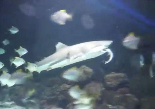 黑鳍礁鲨在动物园游客面前吞食公牛鲨