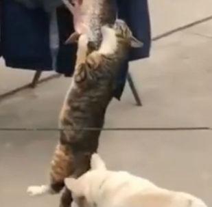 狗帮助自己的朋友猫咪偷鱼