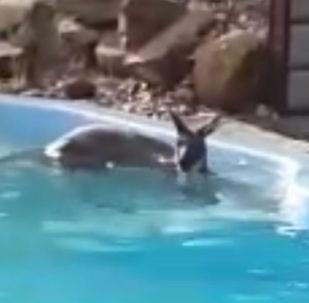 一只袋鼠在泳池中休息