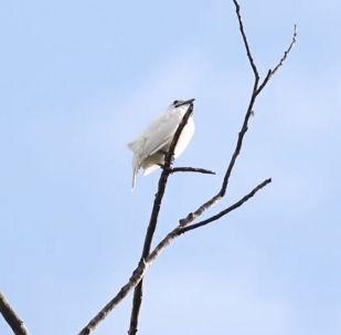 世界上最洪亮的鸟鸣声音如何?