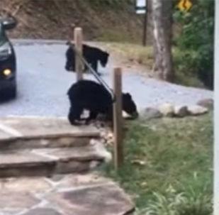 美国一只母熊带熊崽溜进游客越野车偷走口香糖