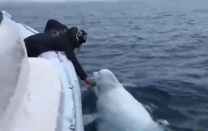 船员同白鲸玩橄榄球