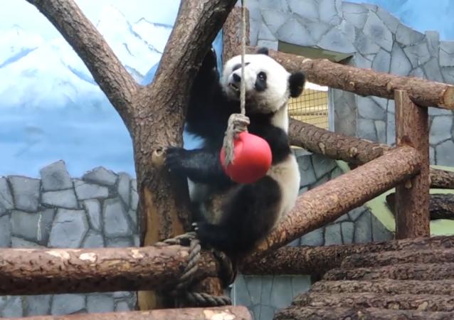 """莫斯科动物园上演""""功夫熊猫"""""""