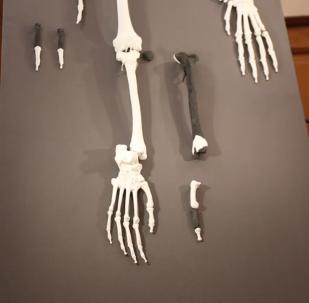 德國新發現1200萬年前類人猿化石