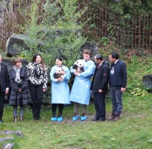 比利时动物园为大熊猫双胞胎正式取名