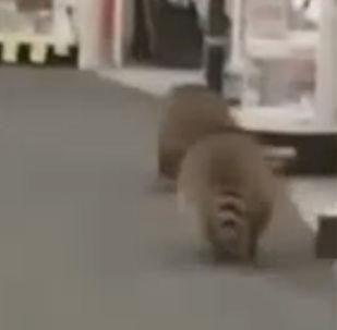 世紀搶劫:浣熊從房頂爬進商店