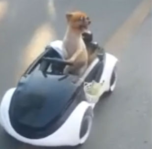 泰國一小狗開車兜風