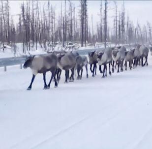 群鹿上公路致擁堵 男子數鹿打發時間
