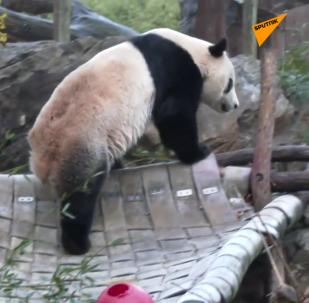 熊猫贝贝回国