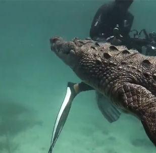 美洲鰐被潛水員包圍的罕見鏡頭
