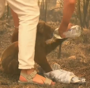 一名澳大利亞女子冒死從著火的森林中救下一隻考拉