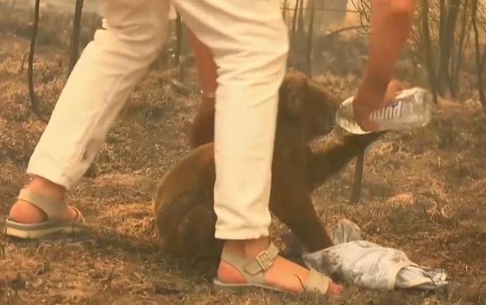 一名澳大利亚女子冒死从着火的森林中救下一只考拉