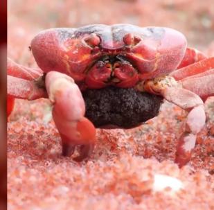 嗜血的雌红蟹
