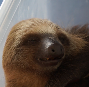 厄瓜多爾:受傷樹懶幼仔被從樹上砍下後獲救