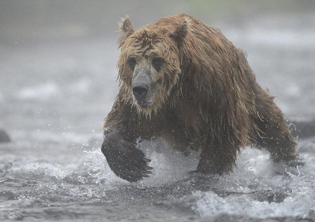 棕熊在堪察加