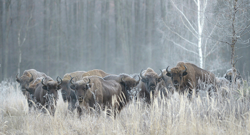 为补充高加索生物种群瑞典野牛被引入俄罗斯