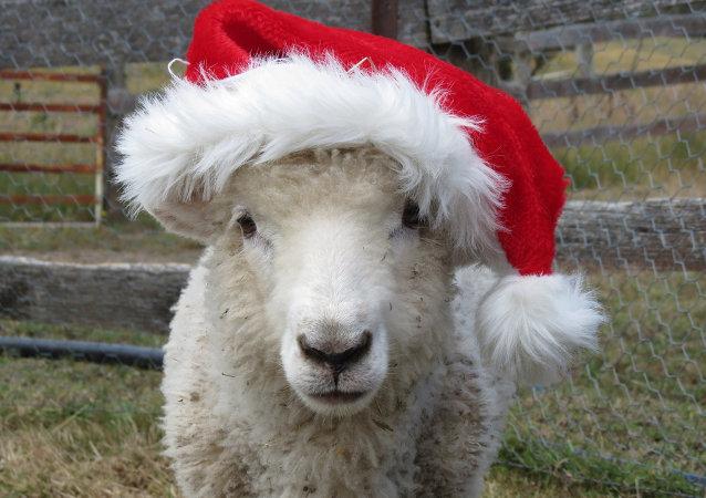法国学校招了15只绵羊学生以避免班级减少