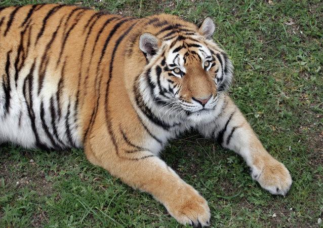 一隻老虎在俄濱海邊疆區襲擊兩頭牛 未威脅居民