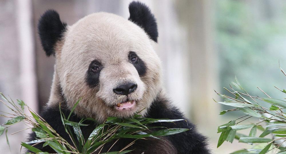在中國動物園和養殖場中的數只大熊貓因瘟疫死亡