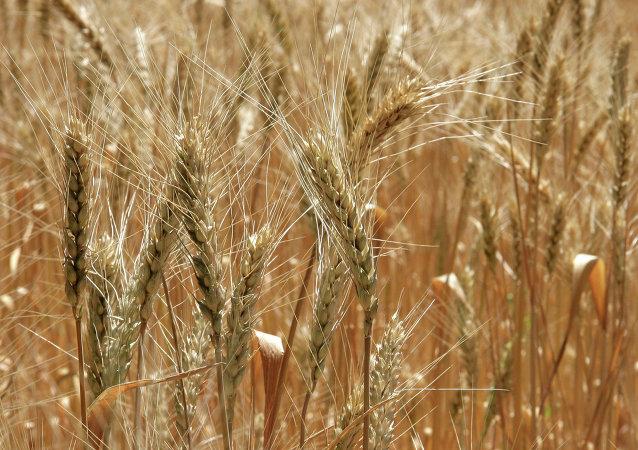 白俄農業與糧食部長:白俄糧食產量將比去年高100萬噸