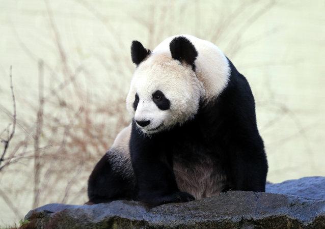 大熊猫已不再属于濒危物种