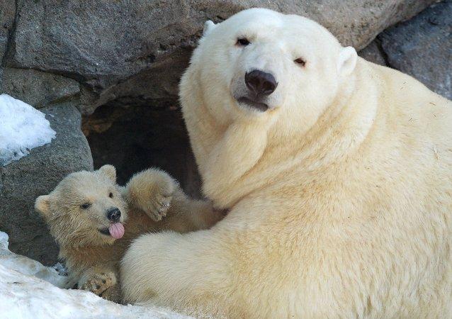 莫斯科动物园,北极熊