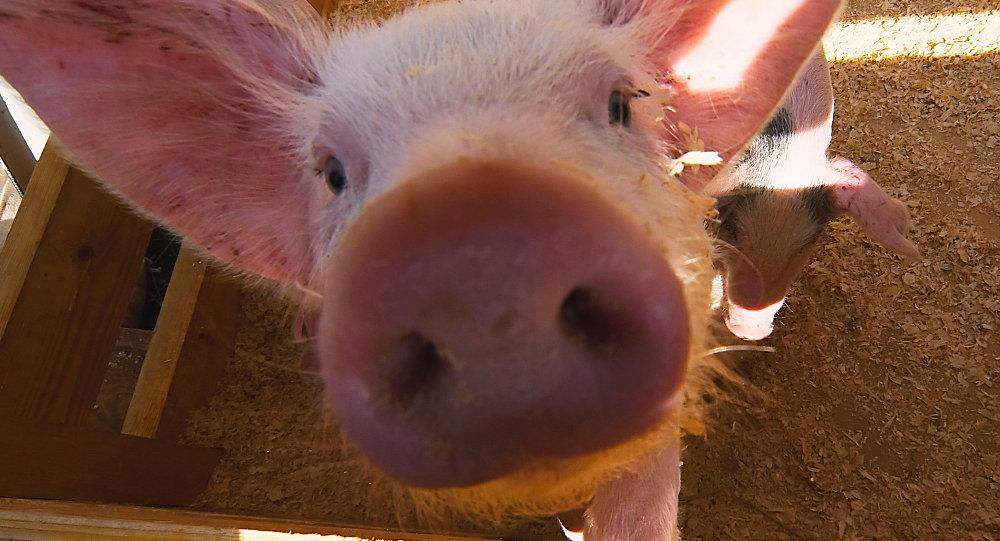 中国农业农村部:黑龙江调往河南郑州的生猪确诊发生非洲猪瘟