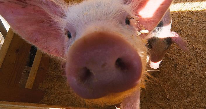 愛沙尼亞爆發非洲豬瘟 銷毀3000多頭豬