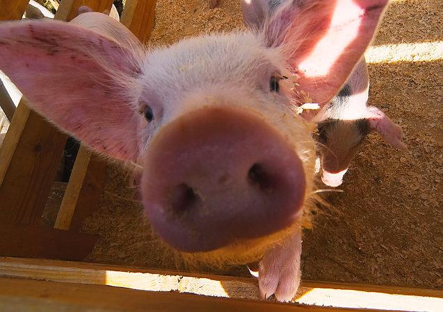 美国因转基因问题无法回到中国猪肉市场