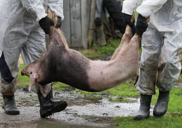 香港呼吁停止供应生猪