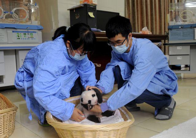 中国四川省国家大熊猫繁育研究基地的大熊猫幼仔