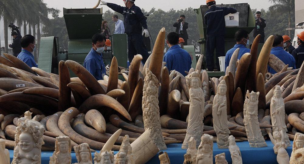 中国政府推行的禁止售卖与走私象牙禁令可能将使香港地区走私活动加剧
