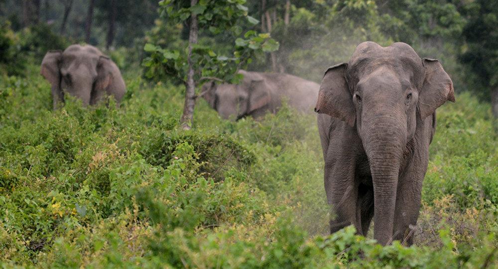 大象迫使印度一对农民父子住上了树