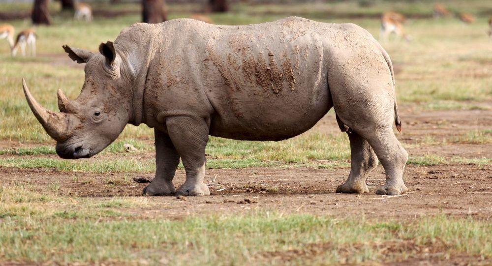 坦桑尼亚稀有犀牛数量翻十番