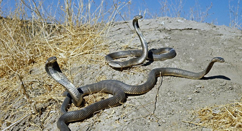 英国惠康基金会拨款8000万英镑用于寻找蛇毒解毒剂
