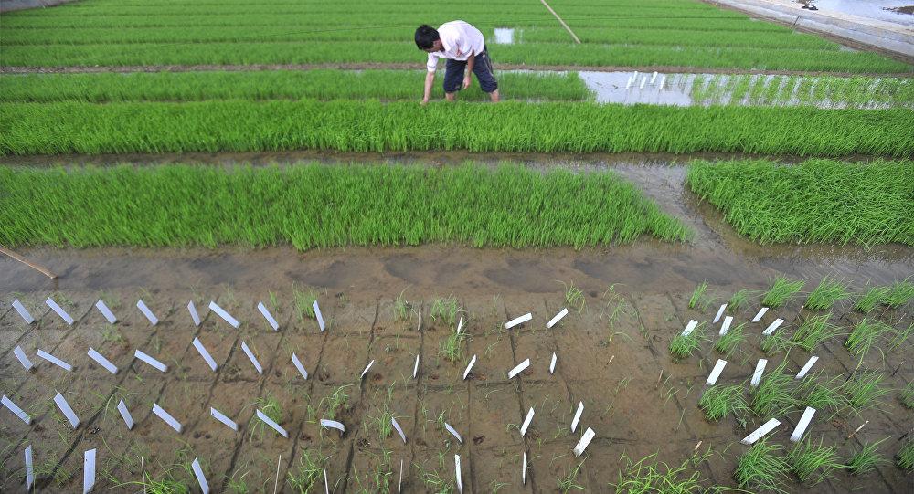 俄羅斯N.I.特卡喬夫農業綜合體收購Razgulay集團稻田
