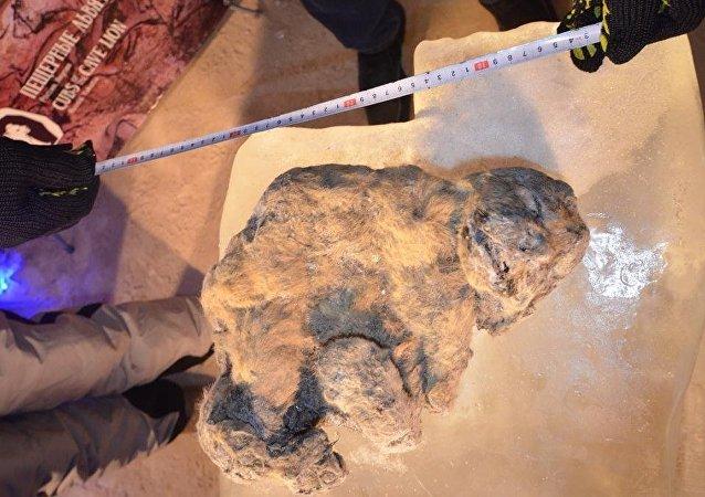 2萬年前曾生活在雅庫特的穴獅或能被克隆