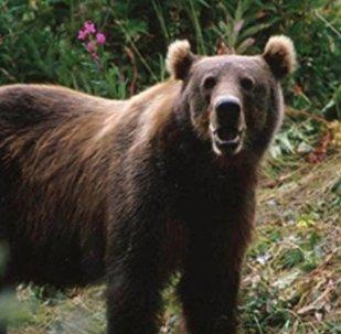後貝加爾斯克查獲18只運往中國的熊掌