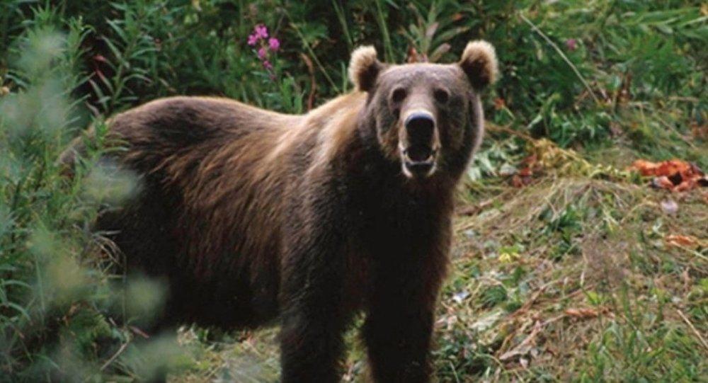哈巴邊境地區野生食肉動物的數量翻倍