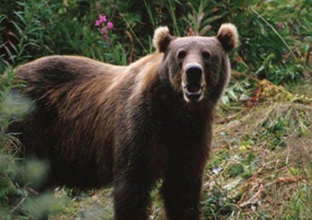 在從後貝加爾開往滿洲里的列車上發現40多只熊掌
