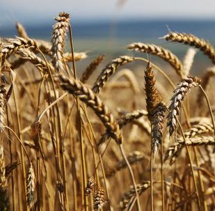 俄行政长官:外贝加尔边疆区农业生产企业欲每年对华供应近4万吨粮食作物