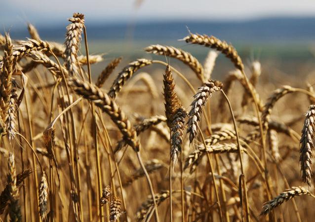 俄克拉斯诺亚尔斯克边疆区将首次向中国出口小麦