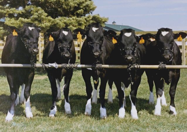 白俄将为俄伊尔库茨克州设计奶牛场