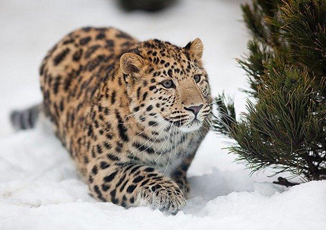 俄專家將協助在吉林省設立保護豹類的國家公園