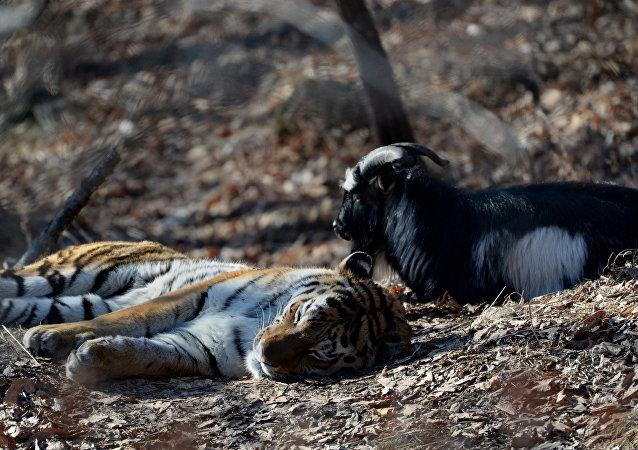 老虎與山羊