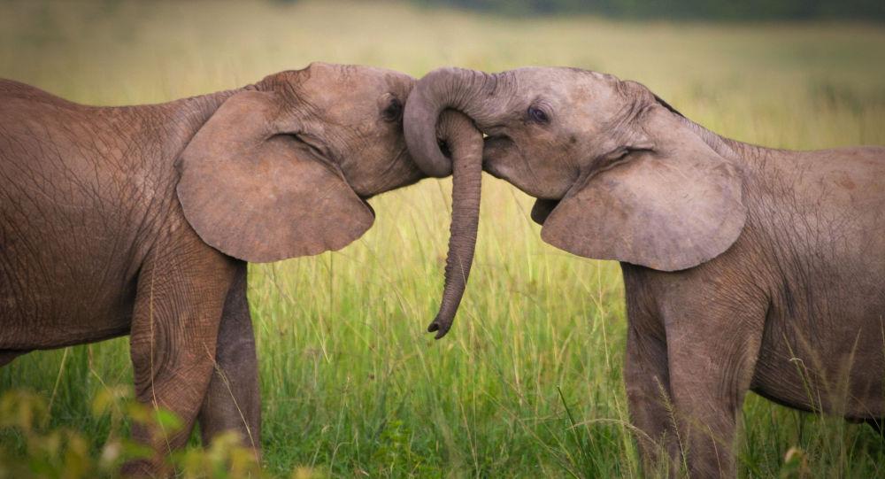 艾未未将从事保护缅甸失业大象的事业
