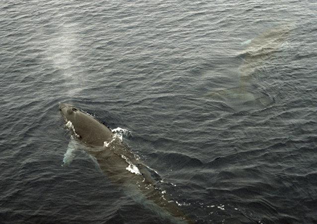 比利时海岸发现搁浅鲸鱼