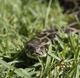 蟒蛇(资料图片)