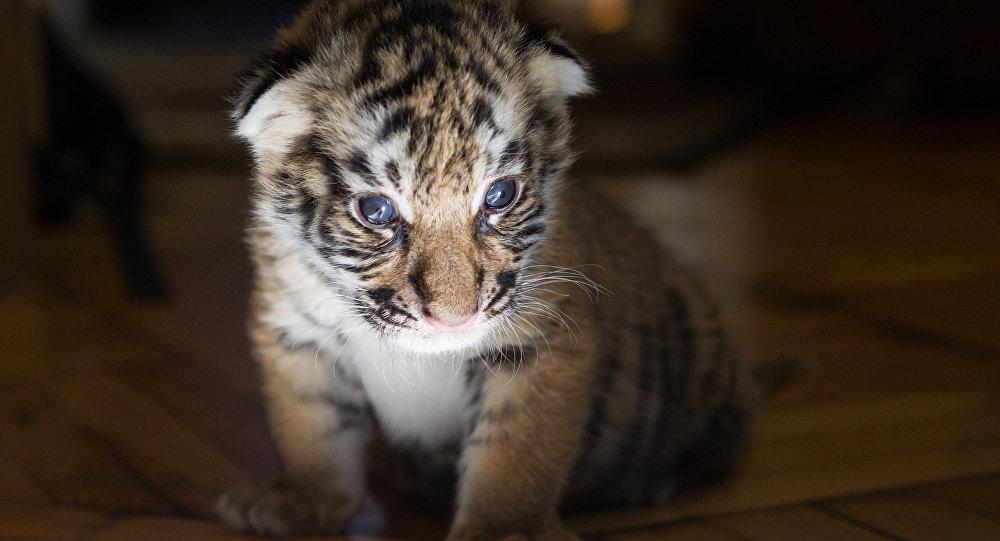 俄濱海邊疆區發現的幼虎將被移至露天獸區