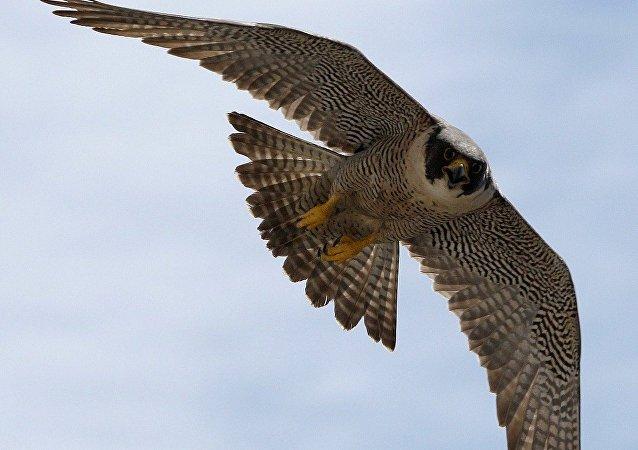 媒体:荷兰警方将训练猛禽捕捉无人机